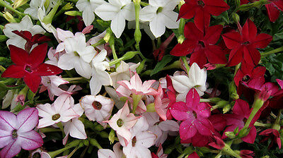 FLOWER NICOTIANA ALATA SENSATION MIXED 0.8 GRAM ~ 4800 SEEDS FLOWERING TOBACCO