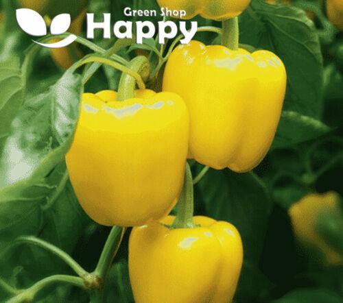 VEGETABLE Capsicum CALIFORNIA WONDER YELLOW 200 seeds SWEET BELL PEPPER