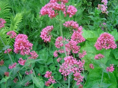 30 Samen Spornblume rot