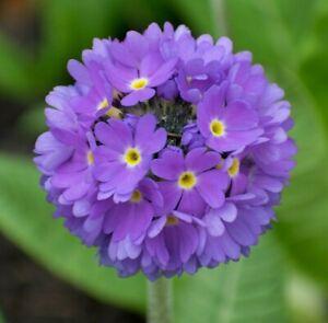 Primula-Denticulata-Hardy-Perennial-Border-Alpine-Primrose-Plant-in-9cm-Pot