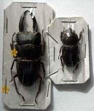 DORCUS SAIGA SSP - unmounted beetle PAIR