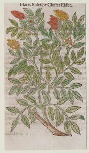 JOHN-GERARD-BOTANICA-MATTHIOLI-1597-ELDER-SAMBUCO-SAMBUCUS