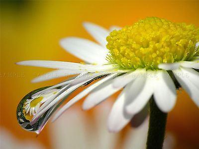 Foto Daisy Flor reflexión Rocío gota de agua 12x16 pulgadas enmarcado impresión