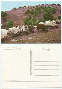 28810-Heidschnucken-Naturschutzpark-Lueneburger-Heide-alte-Ansichtskarte