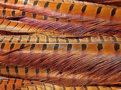 Wahl Golden Pheasant Head 1 Choise  N A T U R Goldfasan Kopf 1