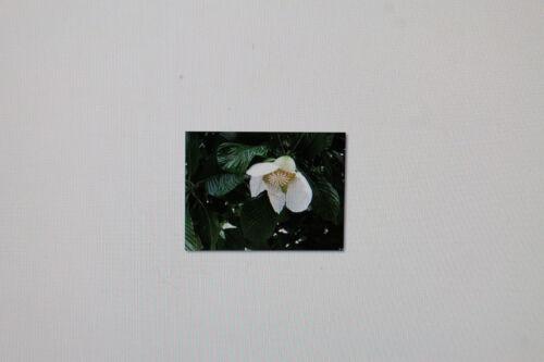 20 Graines Dillenia variété Indica #243 indien roses pomme