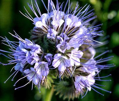 Phacelia tanacetifolia Lacy Phacelia 20 seeds