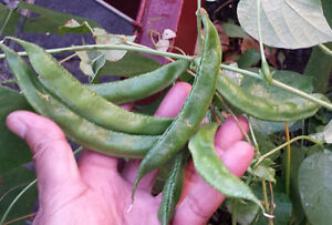 Rare-Asian-Hyacinth-Bean-Noldogi-One-of-the-Most-Delicious-Variety