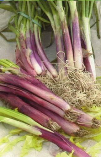 Allium Fistulosum 80 graines de CIBOULE ROUGE VIVACE H839 RED WELSH ONION SEEDS