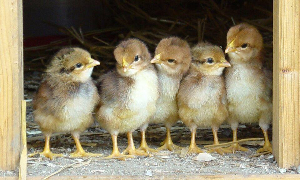 Kyllinger, 10 stk.