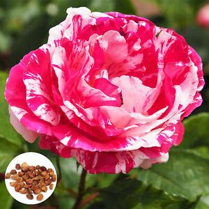 20 Rare Pink Dragon Rose Seeds Exotic Rare Dragon Rose Flower Seeds