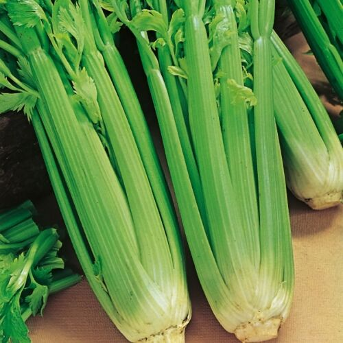 Suffolk Herbes-Organic Céleri Utah 200 graines