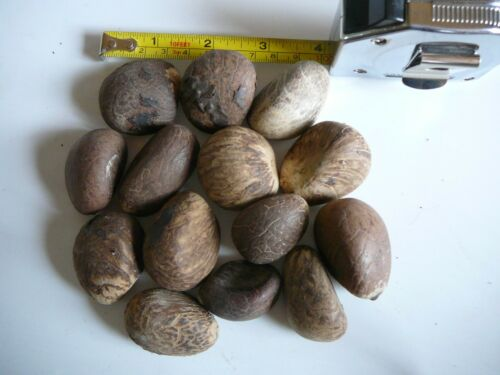 """Med//Large Carving Whole Dried Uncut Nut/'s Raw 11//4/""""to 2/""""+ 50 Tagua Nut"""