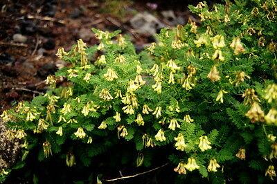 G317 OZARK SUNDROP SEED Oenothera Missouriensis 80 graines d/' ONAGRE DU MISSOURI