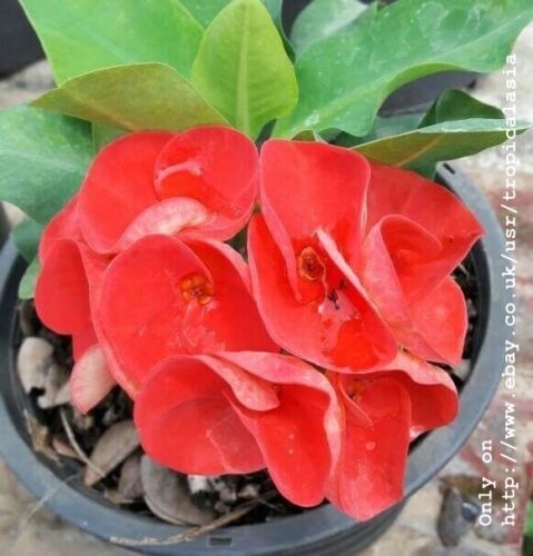 Crown of Thorns Euphorbia Milii Pure Red Larg flowers New Sun CT05