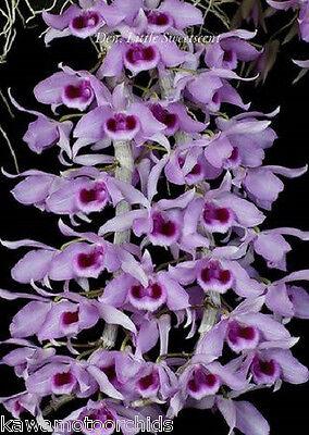 Anosmum BIN-Den Fragrant! Superbum Hawaii/'s Hono-Hono Orchid Easy to grow