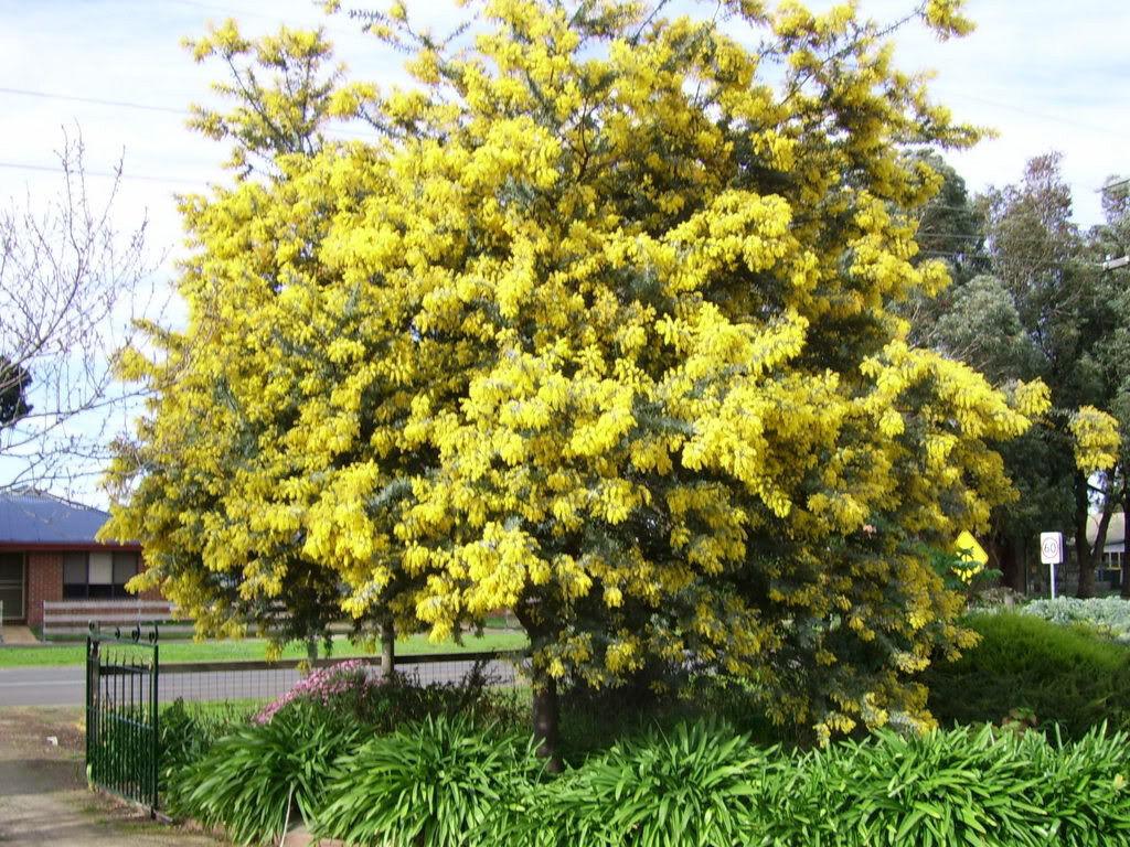 10 Golden Mimosa Acacia Baileyana Yellow Wattle Tree Flower Seeds