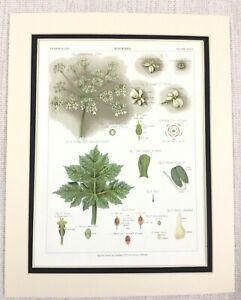 1883 Antico Botanico Stampa Panace Pianta Fiore Foglie Semi Cromolitografia