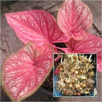 CALADIUM Flower Bulbs Multicolour,4 Pieces HIGH QUALITY 100/% GERMINATION A++