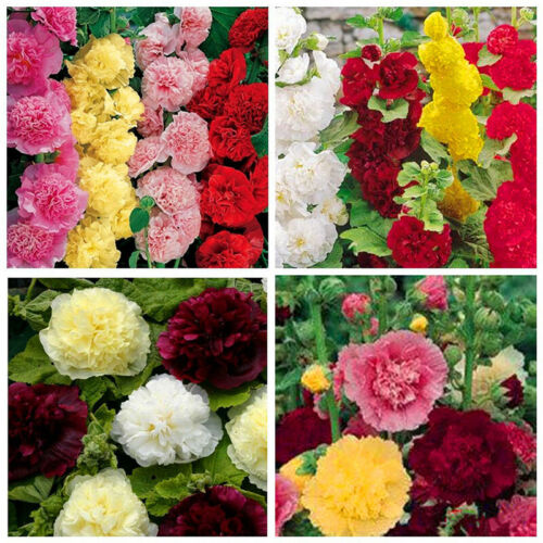100Pcs Sale Hollyhock Carnival Mixed Flower Seeds For Home Plan Garden J2L8