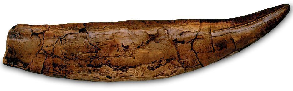 Fósil Tiranosaurio Rex Dinosaurio T Rex diente Modelo réplica 11  con Soporte
