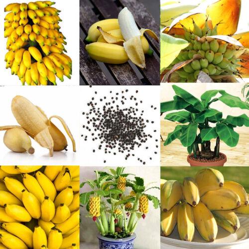 100pcs Dwarf Banana Tree Seeds Mini Bonsai Plant Exotic Rare Fruits Garden Decor