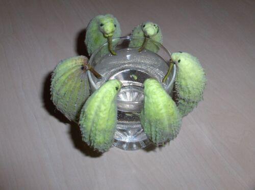 Perroquets Plante Asclepias syriaca véritable soie Plante Fruits comme les perroquets