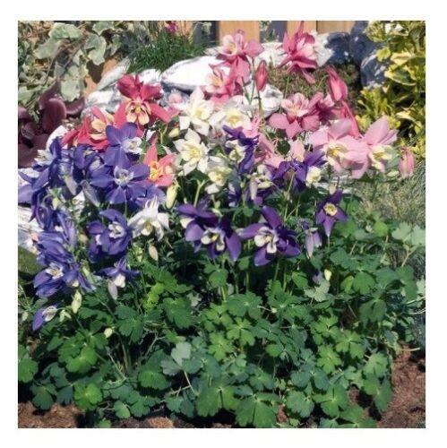 Aquilegia Mix Seeds flower organic seeds non gmo Ukraine 0.2g Gardener/'s dream