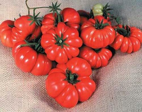 Costoluto Genovese The Ugly Tomato Seed