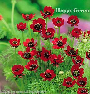 Faisanes-ojo-Rojo-Flor-Adonis-aestivalis-110-semillas
