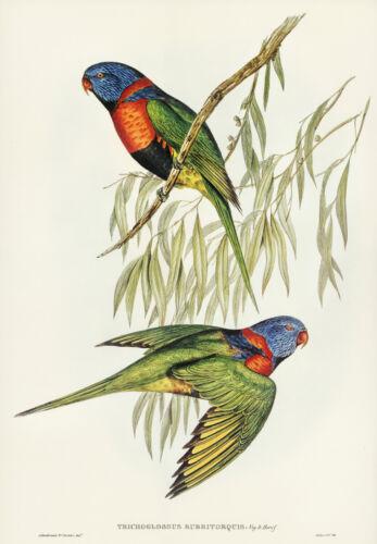 JOHN GOULD RED-COLLARED LORIKEET VINTAGE BIRD ART PRINT POSTER