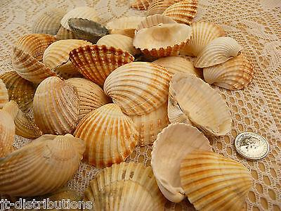 Sea Shells Assorted Shell Craft / Wedding Table Calm Seashells Bag Mixed Size