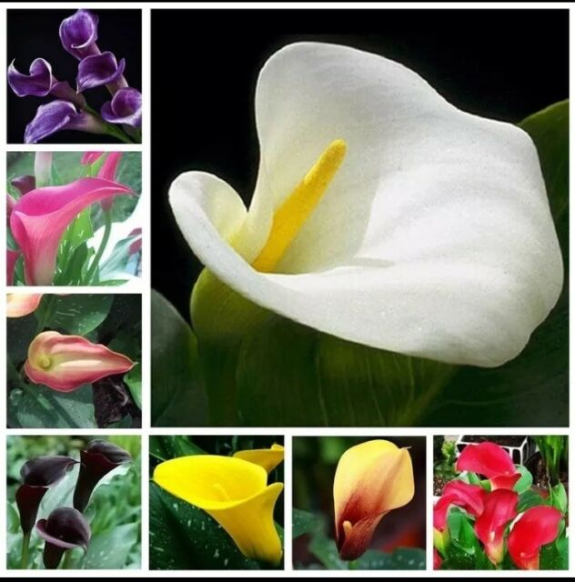 Calla Lily Flowers 100 Pcs Seeds Zantedeschia Aethiopica Plants