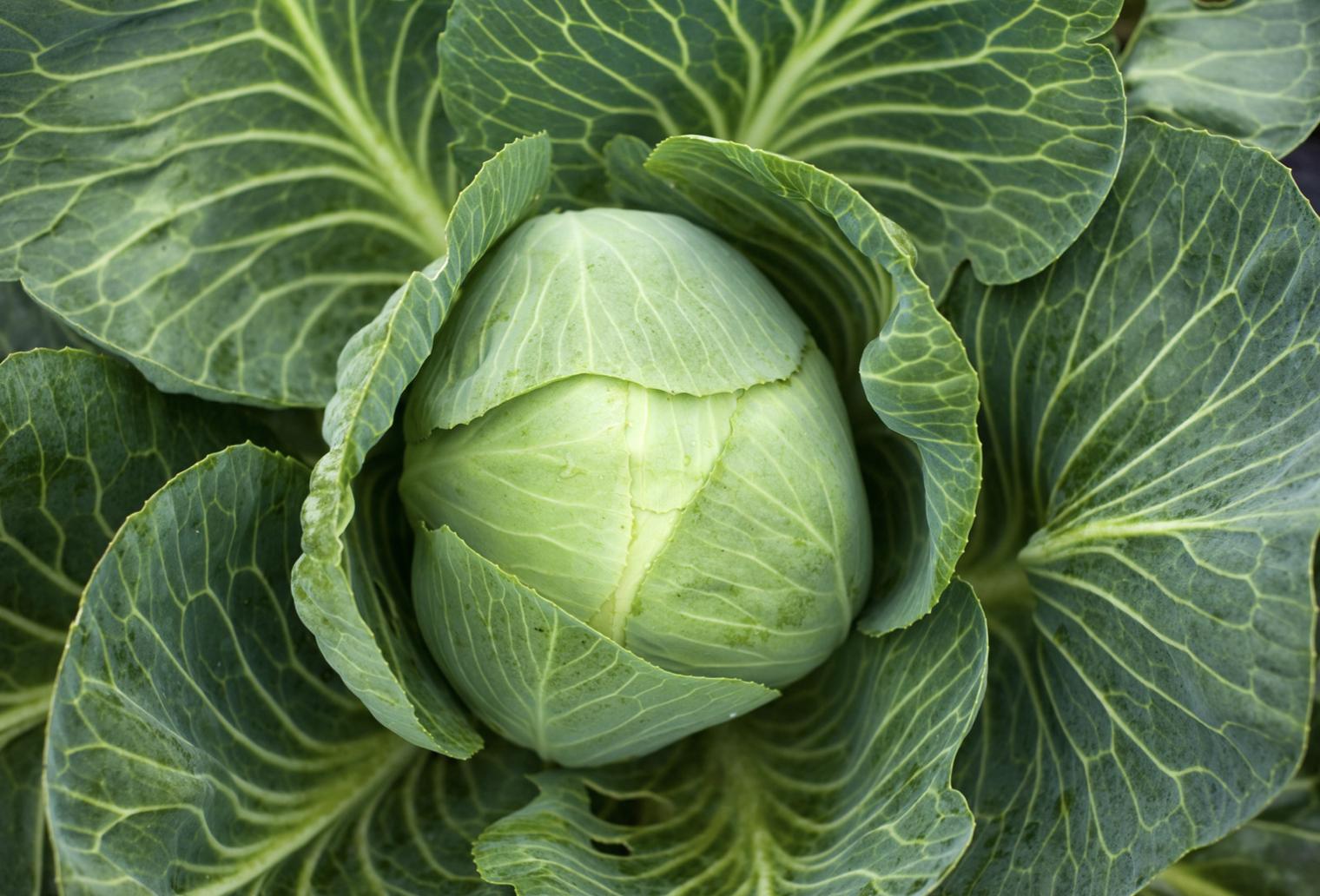 Cabbage : Brunswick : Organic Heirloom 500 Seeds
