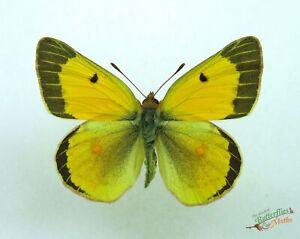 Lesser-Nublado-Amarillo-Mariposa-Colias-Chrysotheme-Juego-x1-Macho-Raro-j01