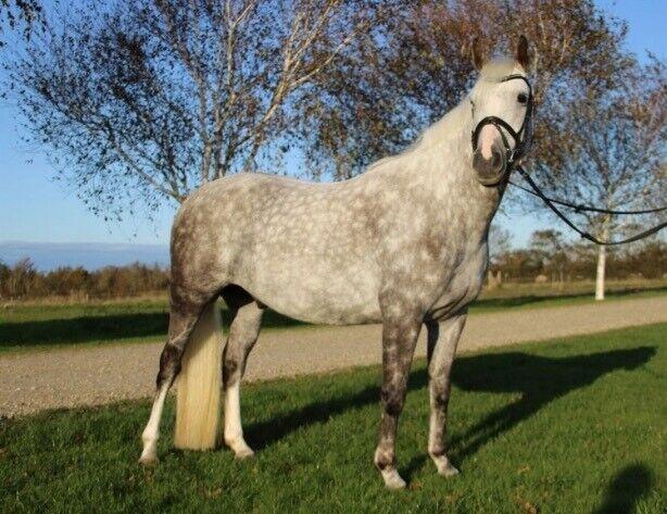 Blanding, vallak, 8 år