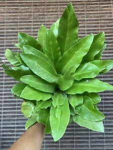 Rare-Specimen-Asplenium-Australasicum-Bird-Nest-Fern-Plant-Monstera-Wide-Leaves