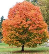 Maple Seeds Sugar Acer Saccharum Ukraine 2 seeds S0771