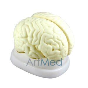 Details about Model Anatomy Professional External Brain Human   19x14x14 cm    3 Parts   ARTMED