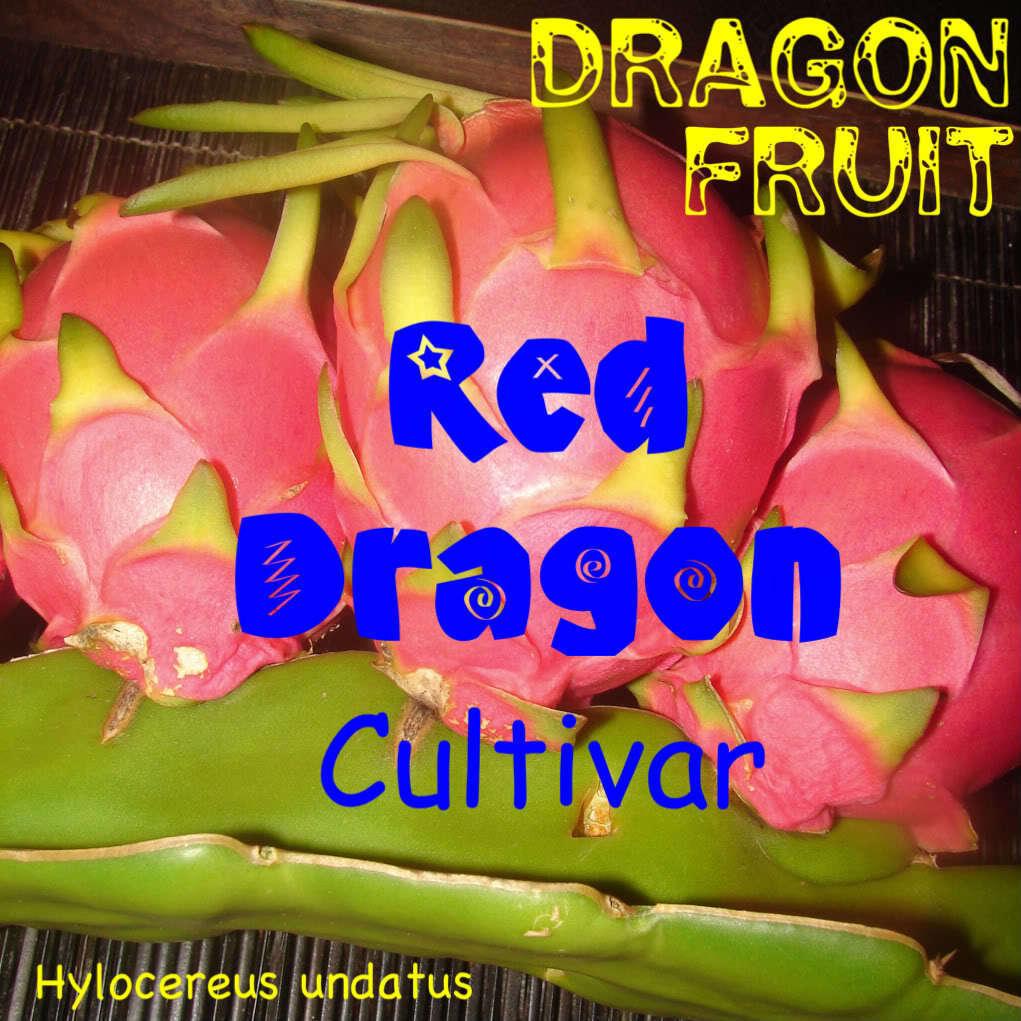 ~RED DRAGON FRUIT~ Red Skin YUMMY RED Plup Pitaya Hylocereus Cactus 100+ SeedS