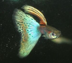 Red blue grass guppies 2 females 1 male trio shallow fin for Jan s tropical fish