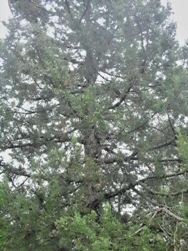 20 MOUNTBATTEN JUNIPER SEEDS Juniperus chinensis mountbatten