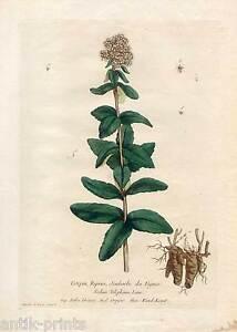 Wundkraut-Orpyne-Kupferstich-N-F-Regnault-1774-Blume-Pflanze-034-La-Botanique-034