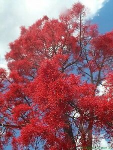 ILLAWARRA-QLD-FLAME-TREE-10-Seeds-Brachychiton-acerifolius-Bush-Tucker-Native
