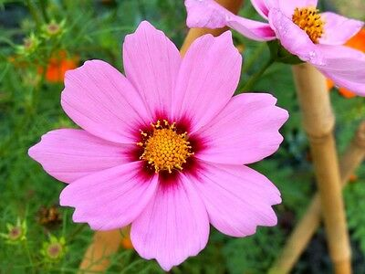 300 GLORIA COSMOS Bipinnatus Pink Flower Seeds + Gift & Comb S/H