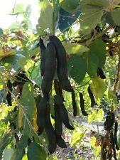 New Seeds Black Kauch Seeds,Mucuna Pruriens Seed 6 Seeds From Thailand
