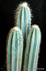 RARE PILOSOCEREUS PALMERI exotic blue color columnar cacti cactus seed 20 SEEDS