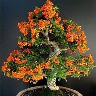 90 Sea Buckthorn Seeds Cold Hardy Hippophae Rhamnoides Fruit Landscape Bonsai