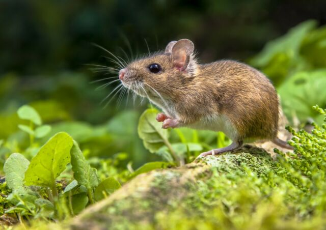 A4  Cute Field Mouse Poster Print Size A4 Mice Rodent Rat Poster Gift #14562