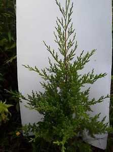 Eastern-Redcedar-Trees-18-034-24-034-Transplants-Juniperis-Virginiana